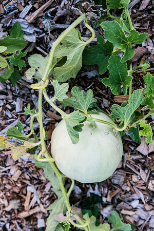 growing_melon_450px.jpg