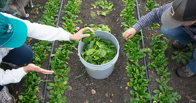 simmons-two-people-picking-greens_WEBSITE.jpg